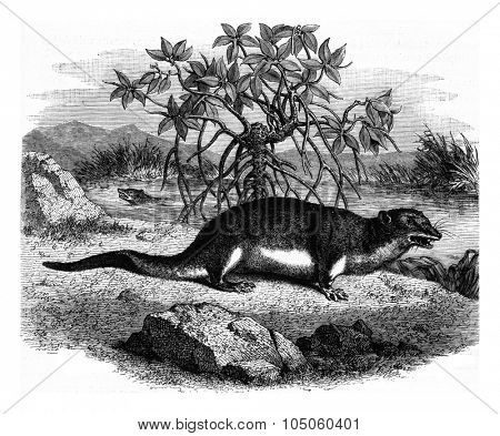 The potamogale of Gabon, vintage engraved illustration. Magasin Pittoresque (1882).