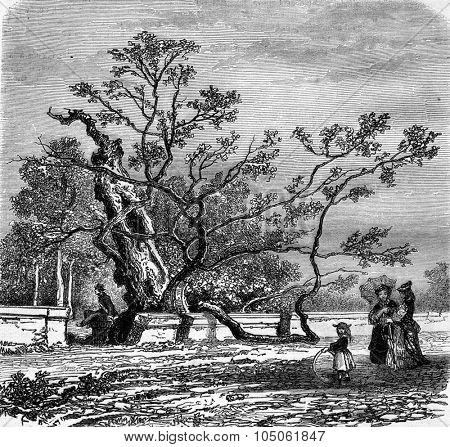 The Judea tree in the Garden of Plants Montepellier, vintage engraved illustration. Magasin Pittoresque 1877.