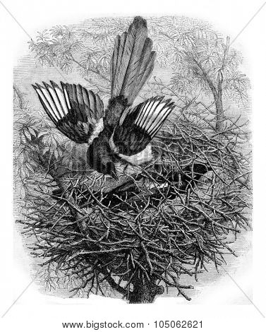 The Magpie and her nest, vintage engraved illustration. Magasin Pittoresque 1867.