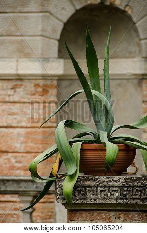 Big Aloe Plant In Konopiste
