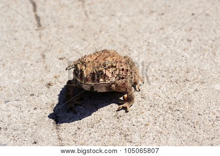Small Toad On The Concrete Road