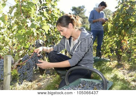 Young woman cutting bunch of grapes during harvest season