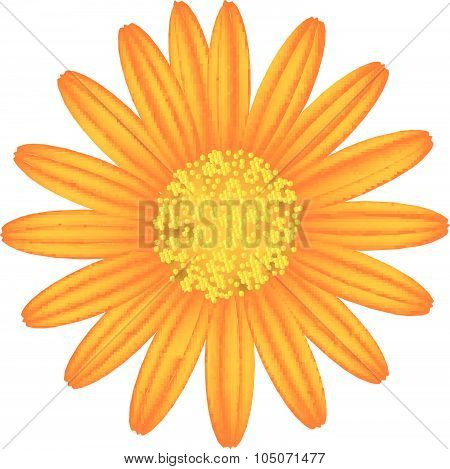 Orange Daisy Flower On A White Background