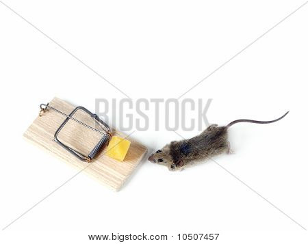 Field Mouse And Mousetrap