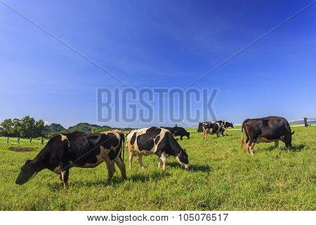 Dairy Cattle Eating Grass In Taitung, Taiwan