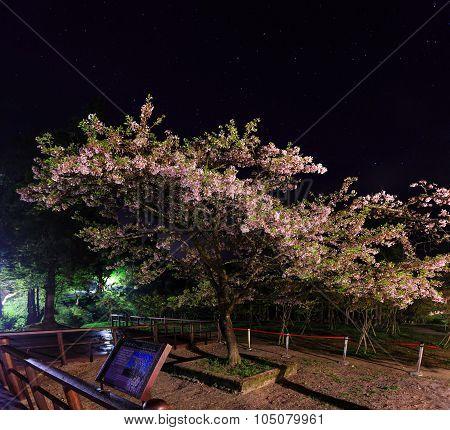 King Of The Sakura (cherry Tree) At Ali Mountain, Taiwan