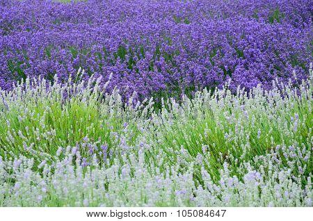 White and Purple Lavender