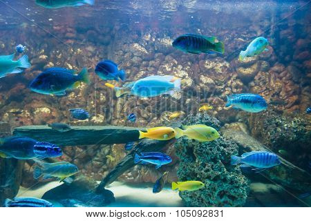fresh water fishes,big cichlids. colorfull, natural aquarium