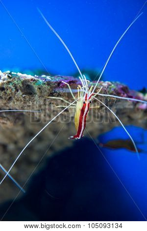 marine shrimp Lysmata amboinensis (Cleaner Shrimp). Underwater life ** Note: Soft Focus at 100%, best at smaller sizes