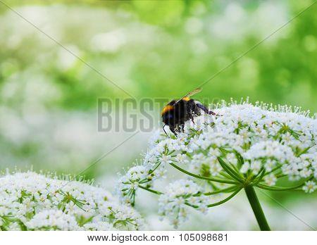 Single honeybee sitting on white flower