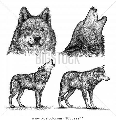 engrave wolf illustration