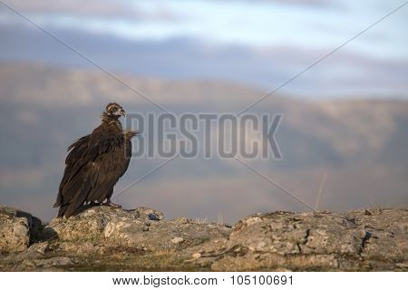 Portrait of scavenger vulture