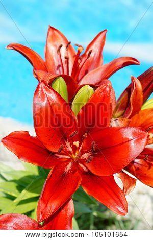 Red Lilium Flowers