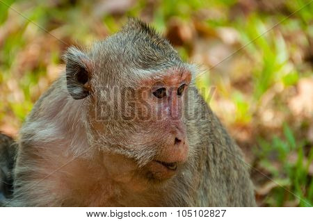 Face of grey monkey macaque