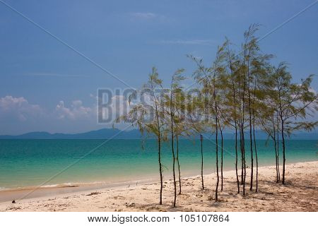 Little Pine On The Beach