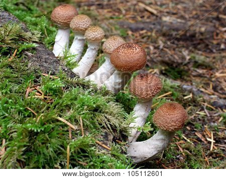 Honey Mushrooms - Armillaria ostoyea