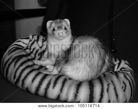 Ferret Lounging on Pillow