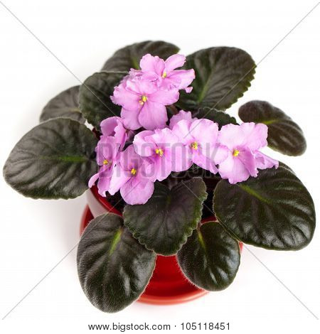 Purple African Violets