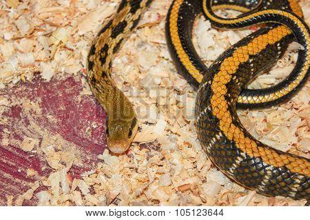 exotic snake in  terrarium