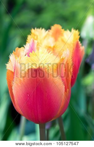 Orange Red Tulip