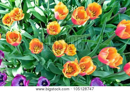 Orange Tulips In Flower Bed