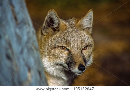 Full face Swift Fox hunting.