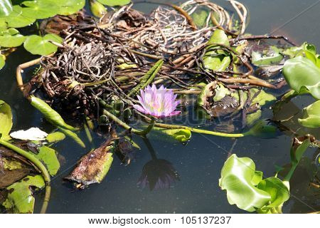 water lilly flower and plant in a pond