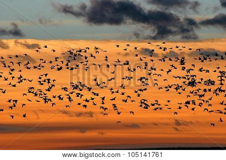 Snow Geese At Sunrise At Bosque Del Apache National Wildlife Refuge