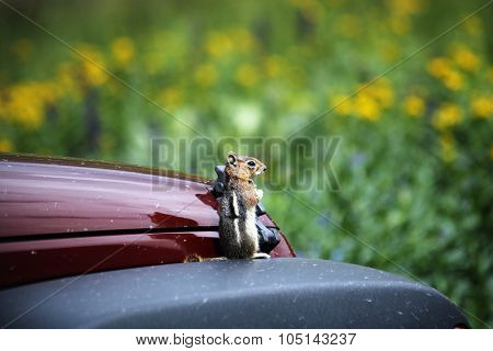 Ground Squirrel Gaurding A Jeep