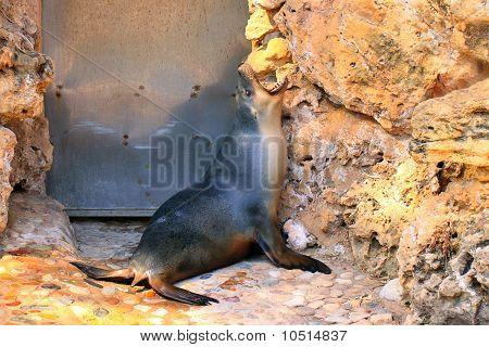 Australian Sea-lion Yawning - Neophoca Cinerea