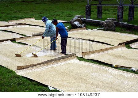 Rice farmers tending and drying harvested rice