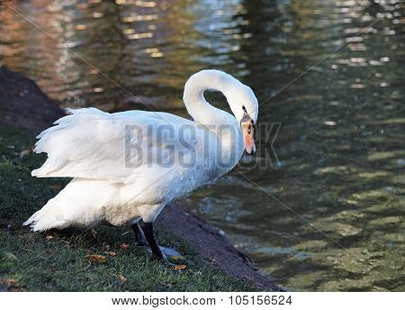 Beautiful white swan  on  natural background