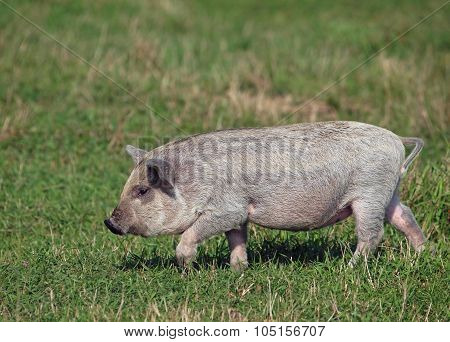 The striped pigling  is in a natural environment