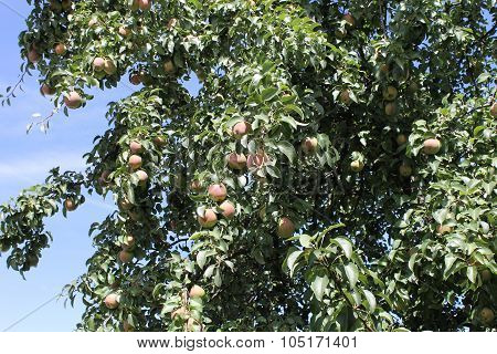 Pear fruit in a pear tree autumn