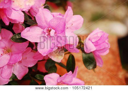 Pink Azalea Kirin
