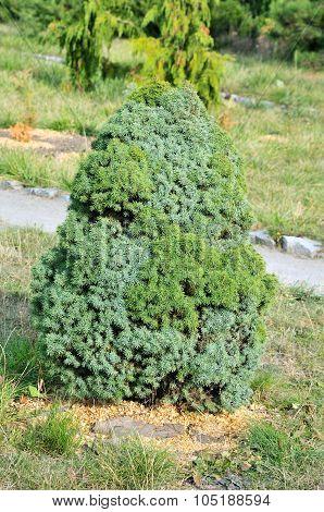 Picea glauca (white spruce).