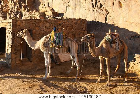 Two Camels Are Near The Home In The Mountains