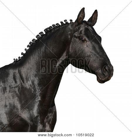 Black horse isolated