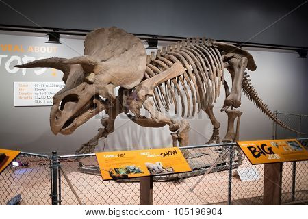 WASHINGTON, USA - AUG 27, 2014: Skeleton of triceratops dinosaur in National Museum of Natural History.