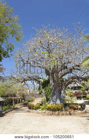 Baobab Tree In Kenya.