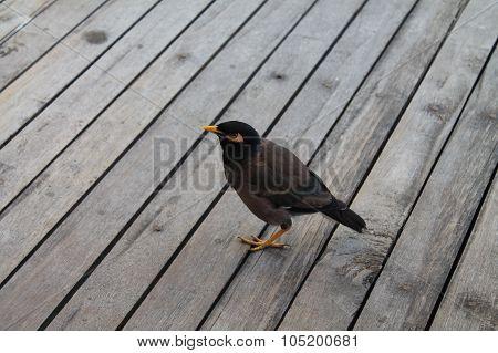common myna bird on a wooden floor on Koh Tao island
