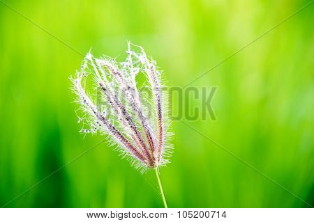 Close up Swollen finger grass (Chloris barbata Sw.)