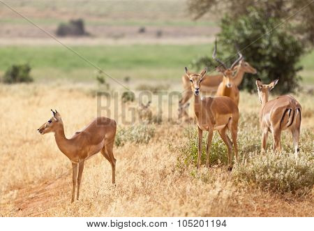 Gazelles In Tsavo East, Kenya