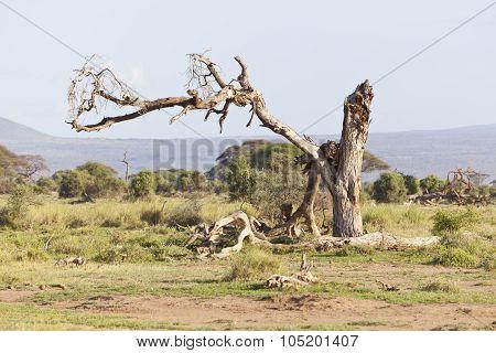 Dead Tree In Amboseli, Kenya