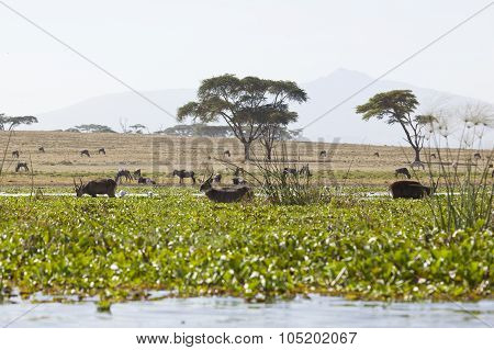 Waterbucks In Kenya