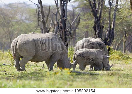 Rhino Family In Kenya