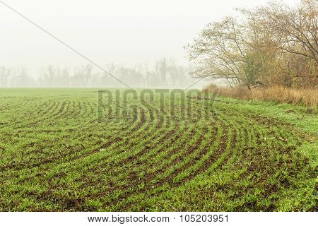 Field With Green Sprouts Of Winter Wheat