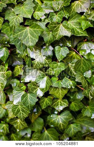 Ivy Plant Leaves
