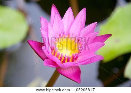 Lotus - Close up Pink Water lily (NYMPHAEACEAE )