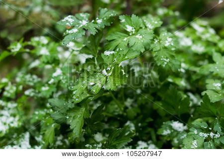 Parsley In The Garden Covered With Snow